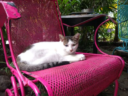 brown and white cat with one blue eye and one green eye, laying in a pink chair